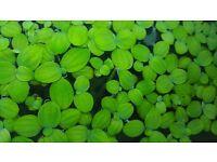Pistia fish plant