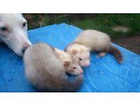 8 wekks old ferrets
