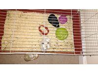 2 sister guinea pigs £25