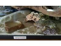 Leopard Gecko full set up