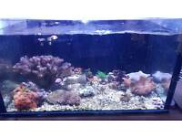 Corals for sale frags reef marine