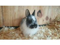 1 Beautiful Baby Netherland Dwarf Buck Remaining