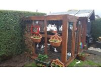 Wight doves for sale