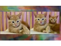 gorgeous Ginger white kittens female male 8 weeks cat cats kitten bromley lewisham south east london