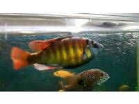 Tropical fish, SP44 Cichlid for sale