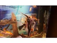 Angel fish (marble )
