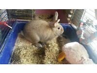Male indoor rabbit for sale