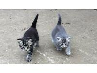 Gorgeous Male Kittens