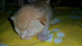 A gorgeous ginger male kitten 2 weeks old