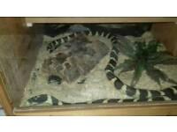 Male king snake