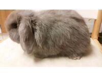 Buckinghamshire baby bunny rabbits for loving homes - grey, brown, black and chinchilla colours