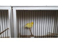 Border Canary Cock