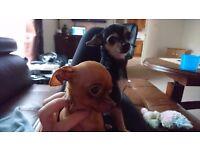 2 boys,russian toy terrier