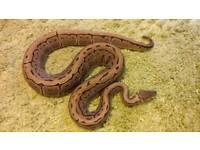 Royal pythons Morphs for sale