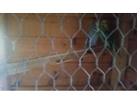 Female Budgies For sale £15 Each