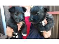 Skye terrier cross West highland terrier