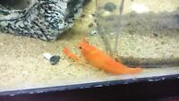 Orange crayfish (pair ) procambarus clarkii