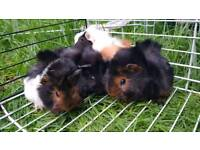 4 Males Guinea Pigs for sale!