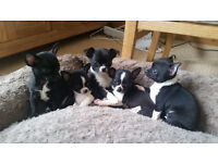 Quality Black & White Chihuahua Smoothcoat KC Male and Females