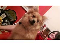 10 month old pomeranian for sale due to allergy beautiful little boy looking for forever home