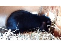 Two black lops free boy and girl.