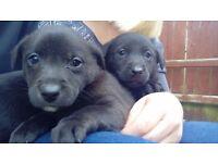 Jack Russell x Labrador pups