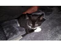 black and white female kittens