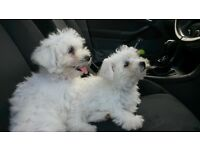 bichon frieze puppies for sale 8 weeks old microchipped