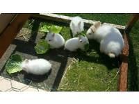 Baby dwarf Himalayan Rabbits