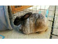 Lovely and friendly Rabbit with hutch and run
