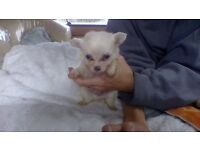 chihuahua puppys 1 girl 2 boys beautiful litter