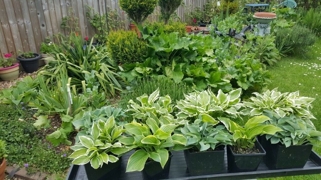 Hosta Plants For Garden Or Pots Three Different Types In High