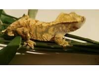 Crested gecko extreme harlequin halloween