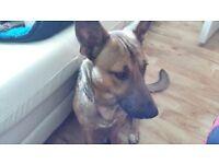 German Shepherd/Terrier Dog for Sale