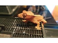 Baby Crested Gecko (delivery locally)