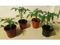 Tomato plants - Ailsa Craig. Free local delivery.
