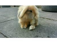 Alaskan lionhead lop ear rabbit