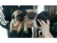 GEORGEOUS PUPPY PUGS