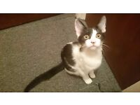 Kitten - Black & white, 4 months old, Female. FREE to home.