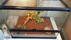 Crested Gecko **PRICE REDUCED**