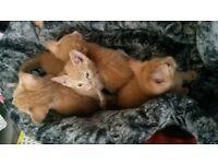 Pure Ginger kittens