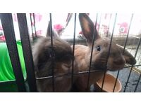 Two rabbits and indoor cage/run
