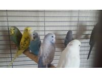 Baby Budgies - 2 for £25