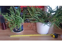 Two large Aloe Vera plants £8 and £12