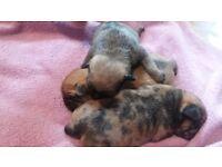 Pug /Chihuahua puppys