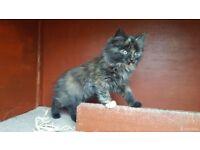 Stunning Fluffy Kitten