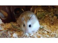 2 single male robo hamsters