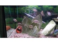 Salvini cichlids for sale
