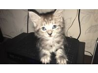 Cuddling kittens for sale ( Maine coon with Persian