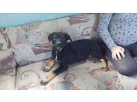Rottweiler xalaskan malumute puppies
